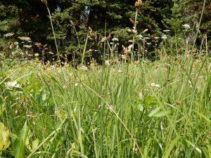 sweetgrass