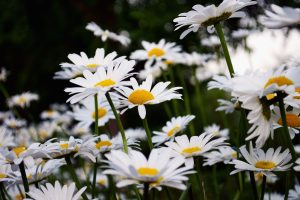low daisies