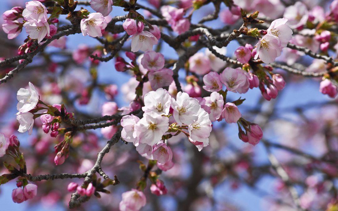 Sakura's Call to Mindfulness, Mindfulness' Call to Gratitude